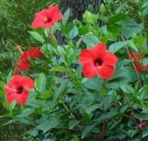 Гибискус - сирийская роза
