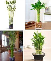 как посадить бамбук в доме