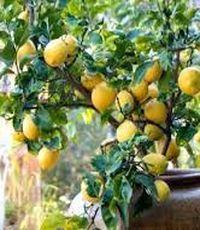 лимонное дерево в доме
